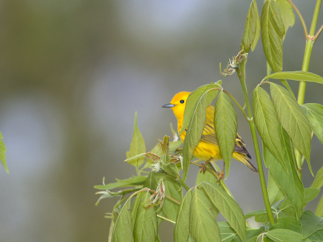 Yellow Warbler male 02-20170503
