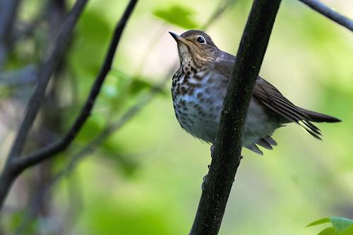 Forest Park: Swainson's Thrush