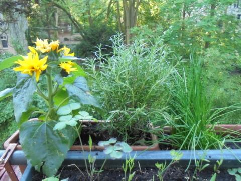 Sonnenblume, Rosmarin, Schnittlauch