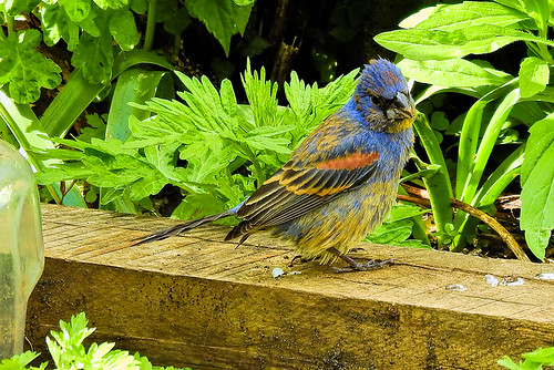 ny.batterypk.blue grosbeak.1