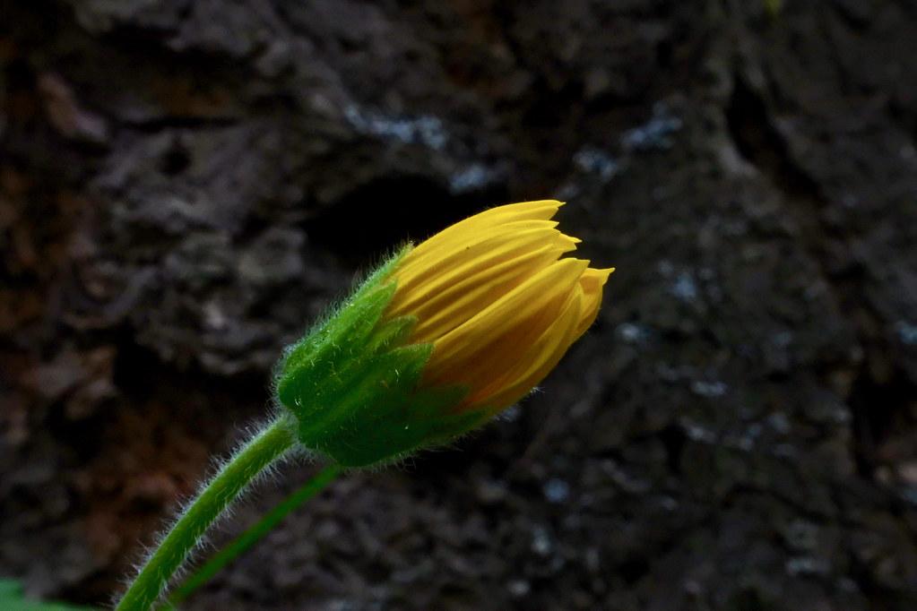 Heart-leaf Arnica