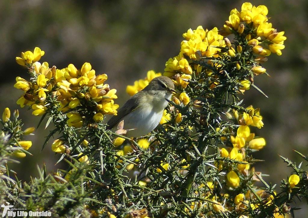 P1070058 - Willow Warbler