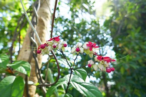 "Yumenoshima Tropical Greenhouse Dome_(2017_05_05)_7_resized_1 ""夢の島熱帯植物館"" で花を撮影した写真。"