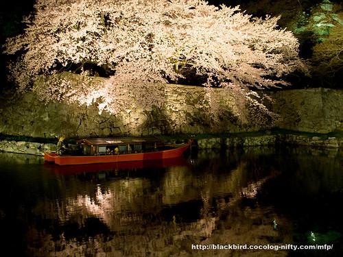 Cherry blossoms #16