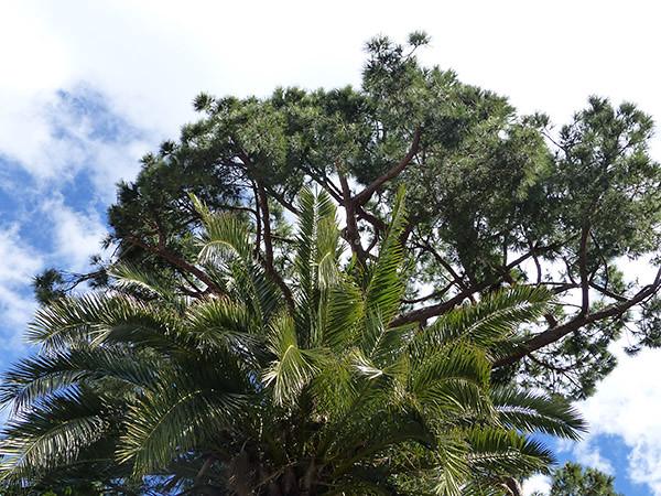 pin et palmier