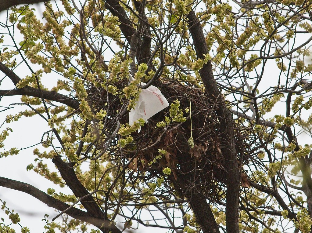 Plastic bag at hawk nest
