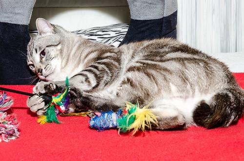 Tango, gato Siamés Tabby de colita corta esterilizado muy guapo, nacido en Enero´16, en adopción. Valencia. ADOPTADO. 34478920071_98db07ec56