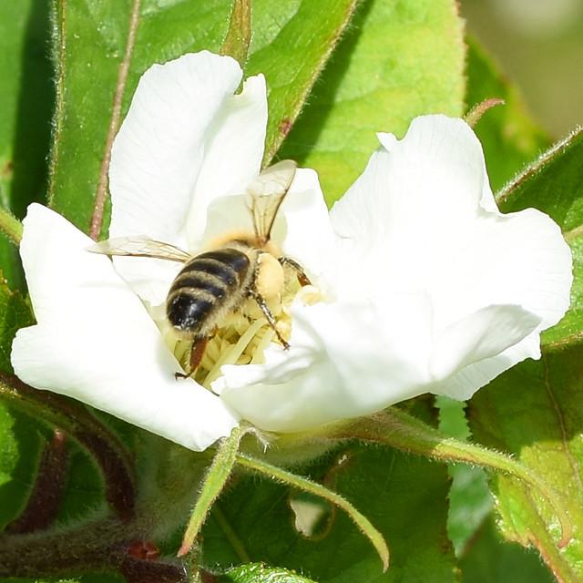 Mispel-Blüte Mai 2017 ... Insektenbesuch: Biene, Fliege, Bockkäfer ... Fotos: Brigitte Stolle, Mannheim