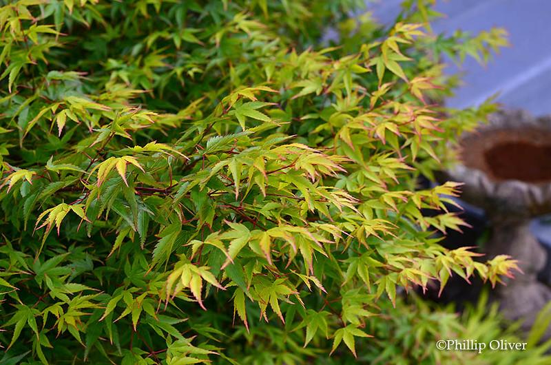 acer-palmatum-murasaki-kiyohime-japanese-maple