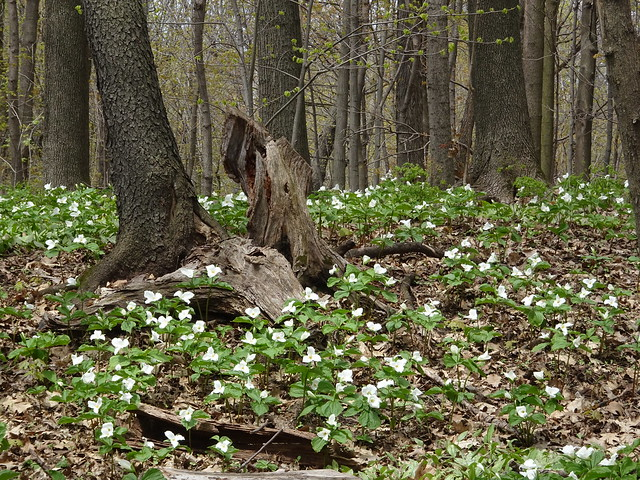 Trilliums Springing Up