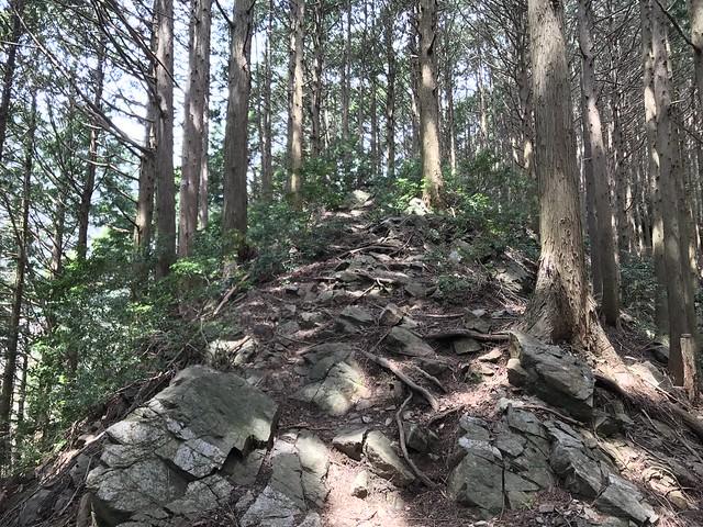 野登山 ミツマタの森 岩尾根