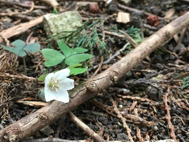 野登山 ミツマタの森ルート 林道 ミヤマカタバミ