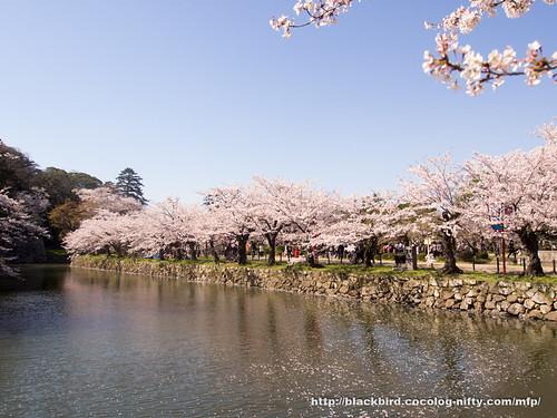 Cherry blossoms #10