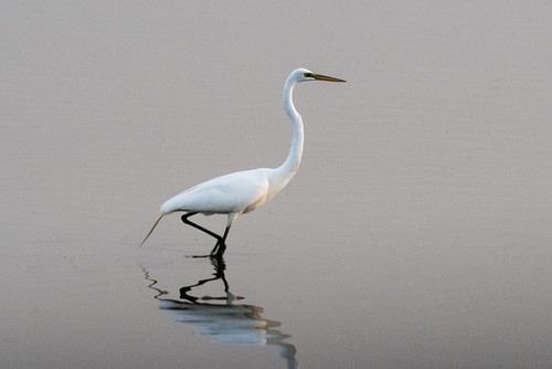 Brigantine: Great Egret at Sunset