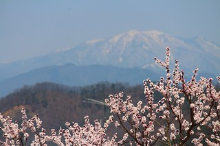 apricot flowers and snowy mountain. | by indiatk