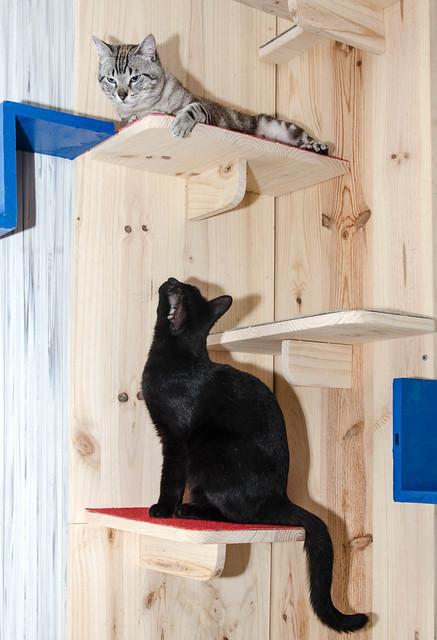Tango, gato Siamés Tabby de colita corta esterilizado muy guapo, nacido en Enero´16, en adopción. Valencia. ADOPTADO. 33766446984_cc042e0273_z