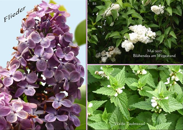 Botanisches am Wegesrand ... Das blüht im Mai 2017 ... Plankstadt bei Heidelberg - Fotos: Brigitte Stolle ... Hier: Flieder, Weiße Taubnessel