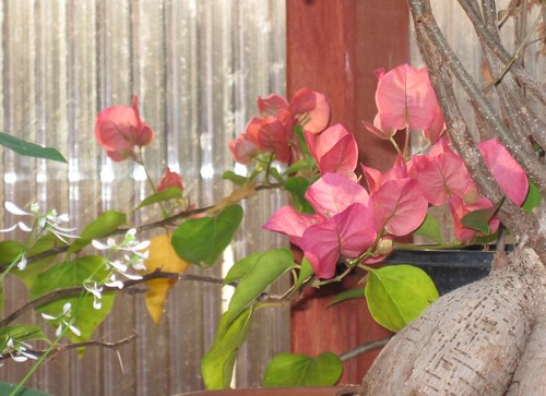 first_bougainvillea_blooms