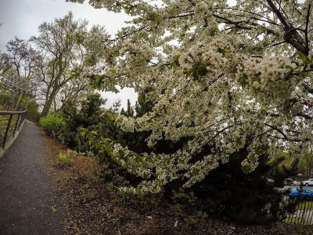 Brooklyn Botanic Garden tree in bloom in spring