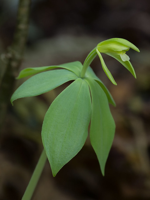 Small Whorled Pogonia orchid