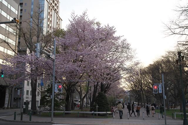 20170503札幌市中央区付近の桜_11