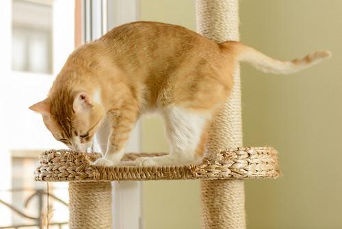 Robin, gato blanco y naranja guapo y súper dulce esterilizado, +inmunodeficiencia nacido en Marzo´15, en ADOPCIÓN ESPECIAL. Valencia. ADOPTADO. 34328270830_c9393b3371