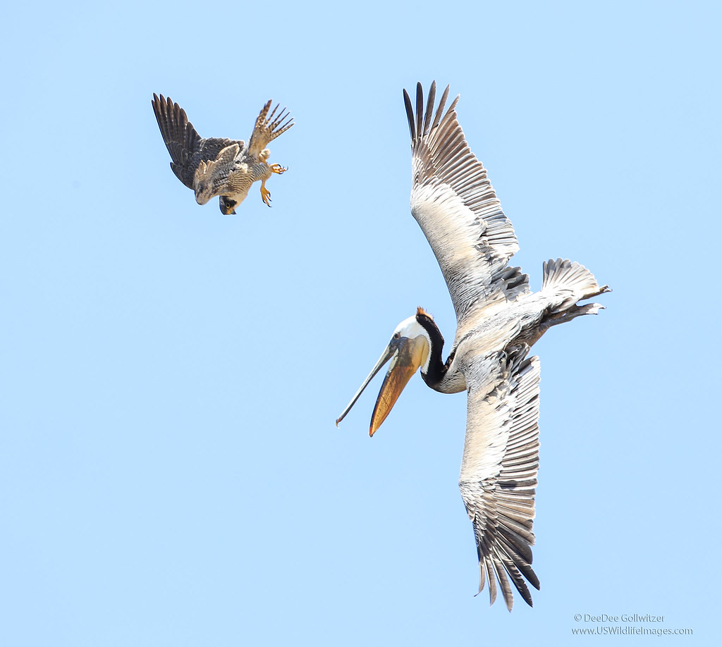 Peregrine Falcon Dives on Pelican | This female Peregrine ...