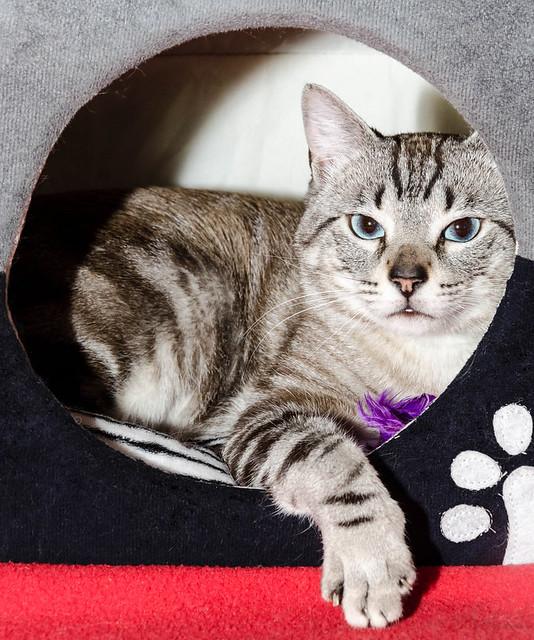 Tango, gato Siamés Tabby de colita corta esterilizado muy guapo, nacido en Enero´16, en adopción. Valencia. ADOPTADO. 34447535722_4bcf1ffb8c_z