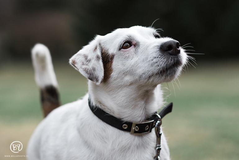 koirakuvaus-kuopio-lemmikkikuvaus-bellaphoto-2
