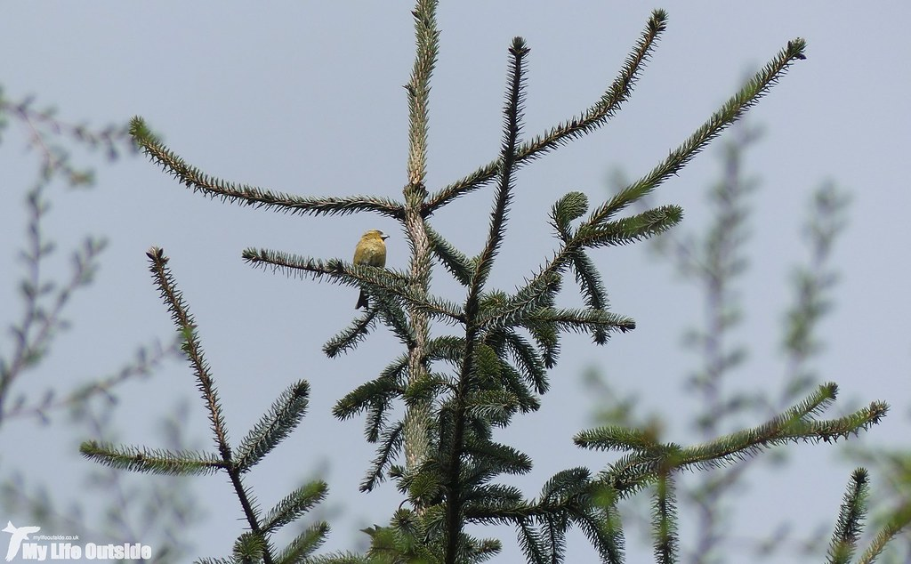 P1070598 - Crossbill, Llandegla Forest