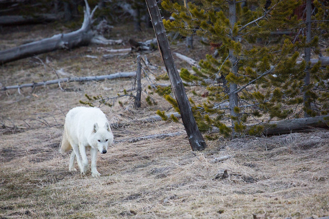 female white wolf walking in forest