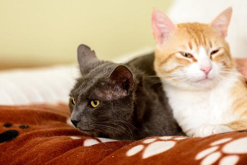 Robin, gato blanco y naranja guapo y súper dulce esterilizado, +inmunodeficiencia nacido en Marzo´15, en ADOPCIÓN ESPECIAL. Valencia. ADOPTADO. 34550780082_edd7f1edab