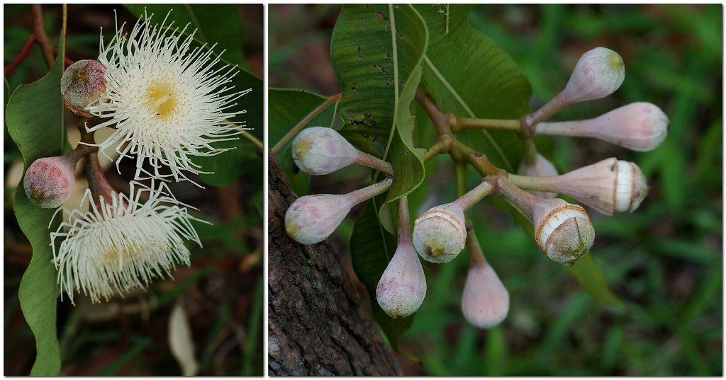 White Flowering Swamp Bloodwood Corymbia Ptychocarpa Flickr