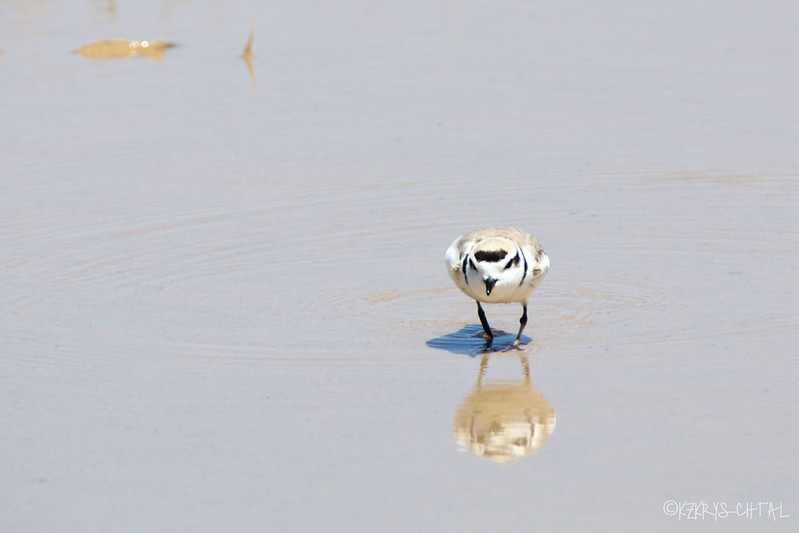 IMG_4094SnowyPlover