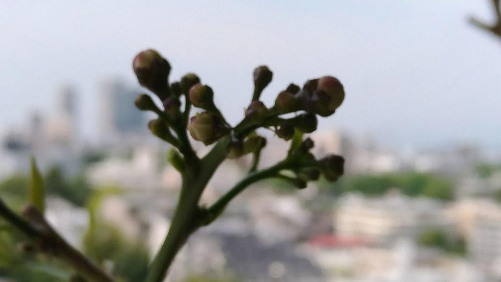 リスボンレモンの花芽