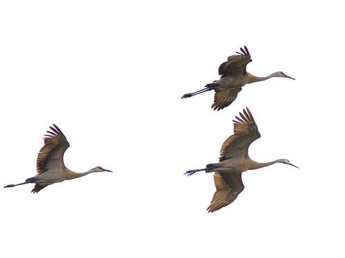 Sandhill Cranes 2-20170502