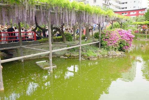 Kameido tenjin wisteria festival 2017 04