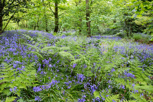 bluebells | temple newsam estate | by John FotoHouse