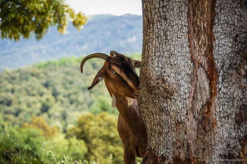 Cabra detrás de un árbol