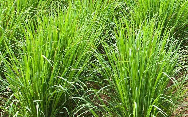 Health Benefits Of lemongrass (Gavati Chaha) Uses & Side Effects