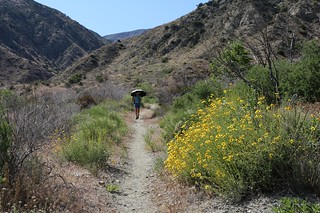 1009 Yellow desert wildflowers are blooming along the PCT at mile 227 | by _JFR_
