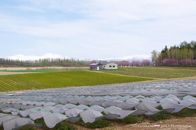 サクラ咲く丘風景 ②