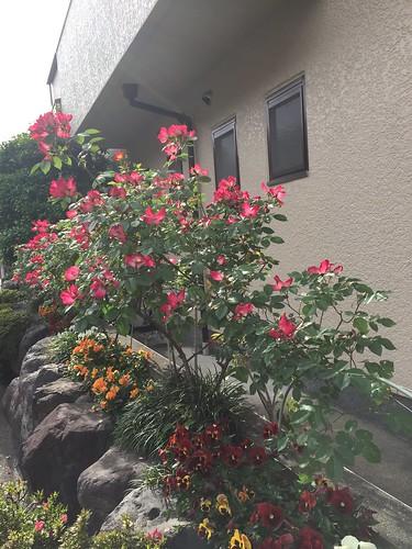 ばら 教会玄関花壇