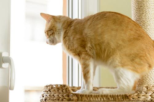Robin, gato blanco y naranja guapo y súper dulce esterilizado, +inmunodeficiencia nacido en Marzo´15, en ADOPCIÓN ESPECIAL. Valencia. ADOPTADO. 34581634351_baa47195f9