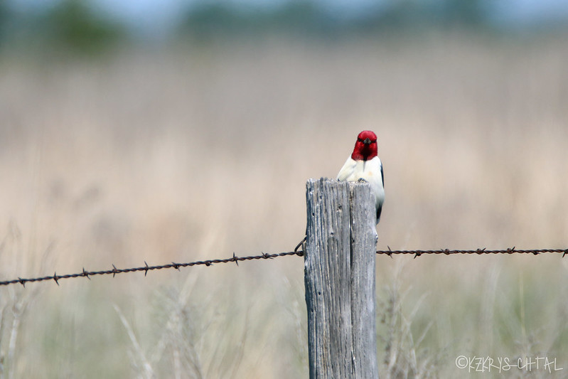 IMG_3392RedHeadedWoodpecker