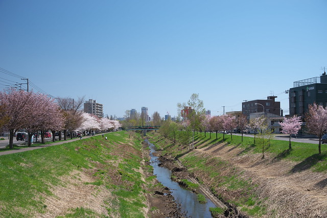 20170504新川さくら並木の桜_09