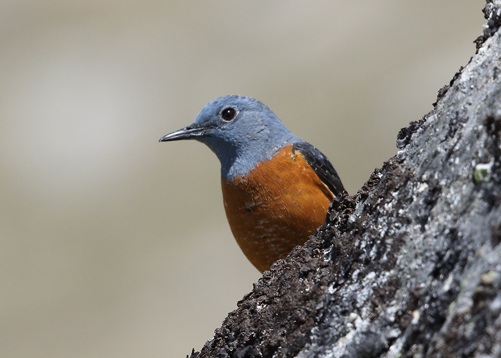 Common Rock Thrush  Monticola saxatilis