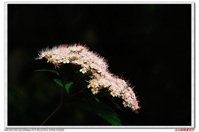 玉山繡線菊 2