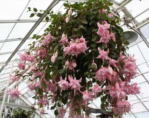 pink_hanging