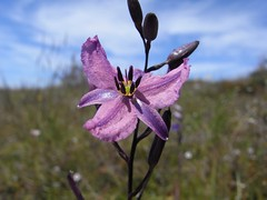 Arthropodium strictum - Chocolate Lily